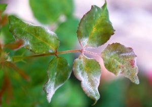Rózsa lisztharmat