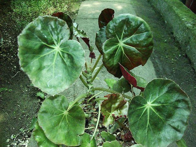 Pajzslevelű begónia - Oázis Kertészet