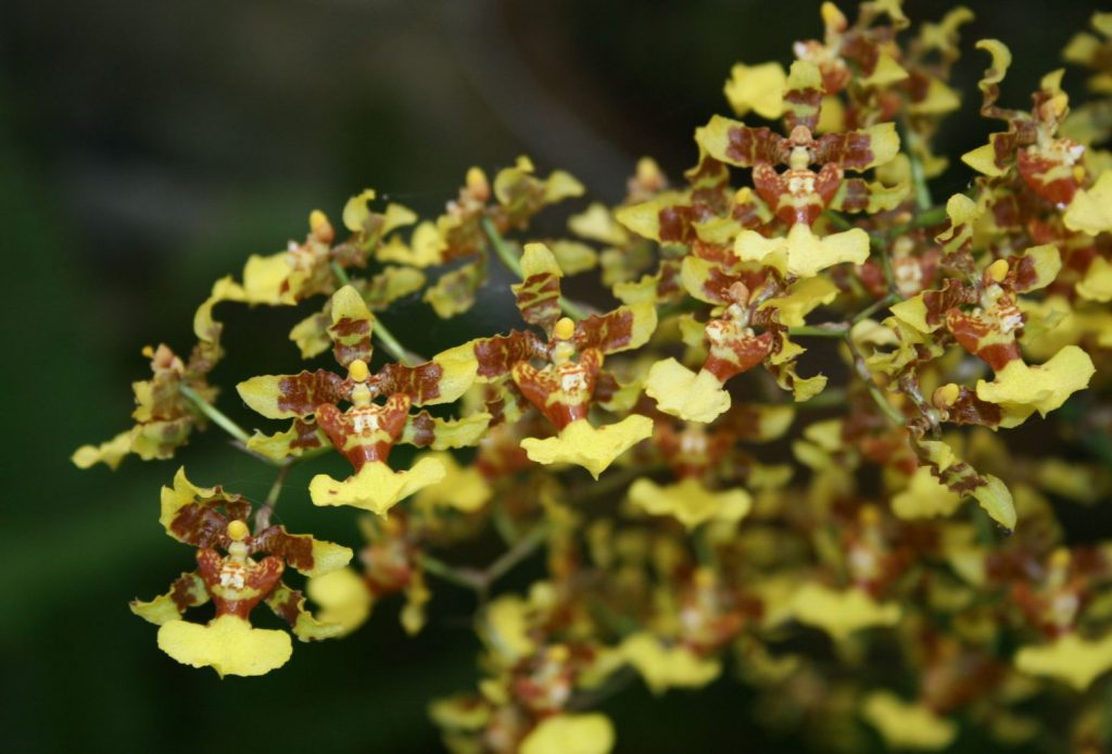 orchidea oncidium