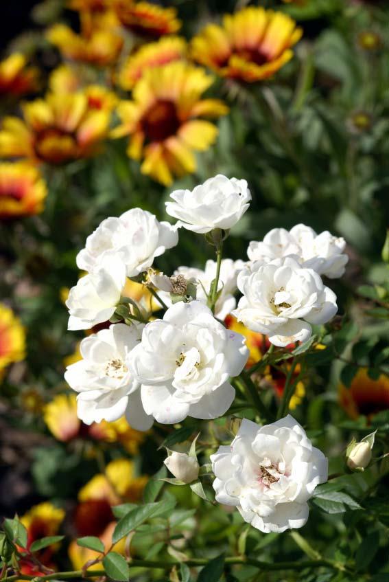 rózsák színharmónia