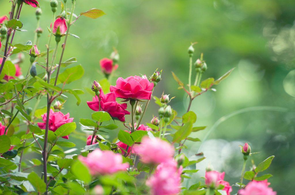 rózsa trágyázás